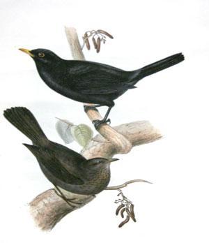 Black-Ouzel or Blackbird - Merula vulgaris: John Gould