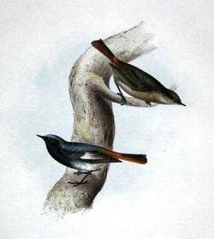 Black Redstart - Phoenicura tithys: John Gould