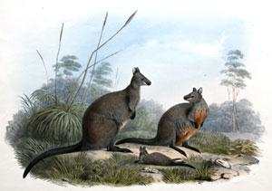HALMATURUS UALABATUS - Black Wallaby: John Gould (1804-1881)