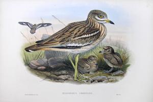 Oedicnemus crepitans (Stone-plover or Thick-knee): John Gould
