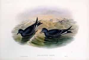Thalassidroma Leachii (Forked-Tailed Storm Petrel): John Gould