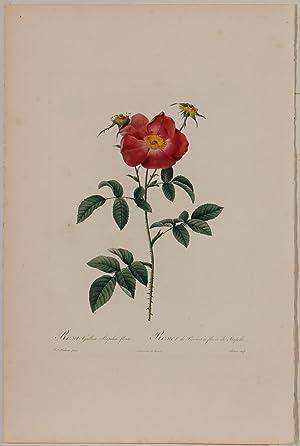Rosa Gallica Stapelice Flora: Pierre-Joseph Redouté