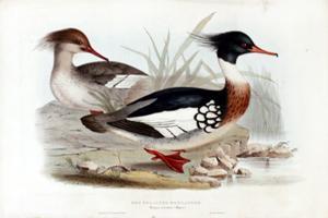 Red-Breasted Merganser. Mergus serrator (Meyer): John Gould