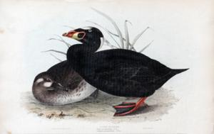 Surf Scoter. Anas perspicillata, (Linn), Oidemia perspieillata; (Flem): John Gould