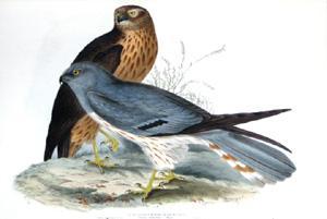 Ash-Coloured Harrier, Circus cineraceus (Meyer): John Gould