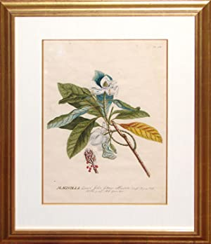 Magnolia: Georg Dionysius Ehert