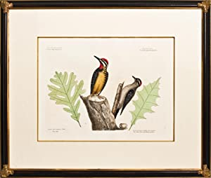 The Yellow Belly'd Woodpecker & The Smallest Spotted Woodpecker