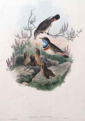 Cyanecula Leucocyana (White-Throated Bluebreast): John Gould