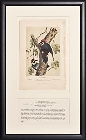 The California Woodpecker