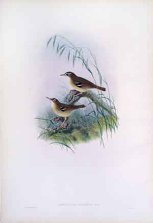 Sericornis Minimus, Gould (Little Sericornis): John Gould