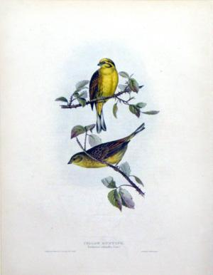 Yellow Bunting, Emberiza citronella, (Linn): John Gould