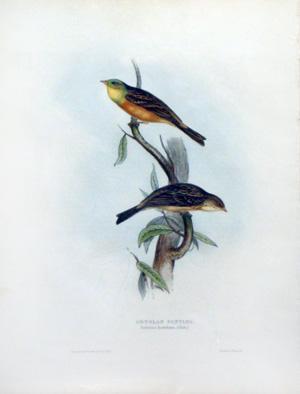 Ortolan Bunting; Emberiza hortulana, (Linn): John Gould