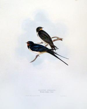 Chimney Swallow, Hirundo rustica (Linn): John Gould