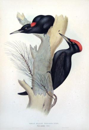 Great Black Woodpecker, Picus martius (Linn): John Gould