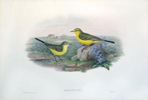 Budytes Rayi (Yellow Wagtail): John Gould
