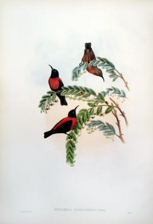 Myzomela Rosenbergi, Schleg (Von Rosenberg's Honey-eater): John Gould