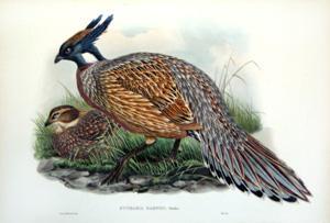 Pucrasia Darwini, Swinhoe (Darwin's Pucras Pheasant): John Gould