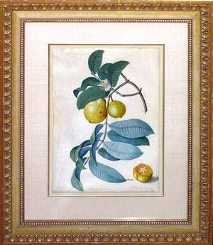 Guava alba ducis (sweet white guava): Captain Thomas Davies (1737-1812)