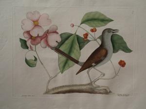 The Mock Bird: Mark Catesby