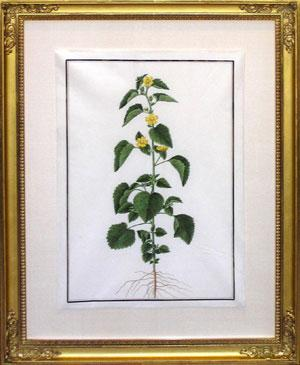 47. (Untitled botanical): Baldassare Cattrani