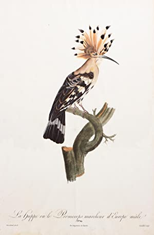 La huppe ou le Promerops marcheur d?Europe male, No. 22 (Hoopoe Bird)