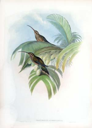 Phaethornis Superciliosus, Plate 17 (Long-tailed Hermit): John Gould