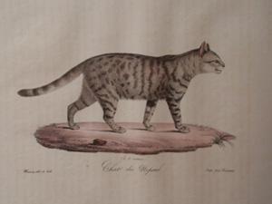 Chat du Nepaul: Frederic Cuvier & Geoffroy Saint-Hilaire