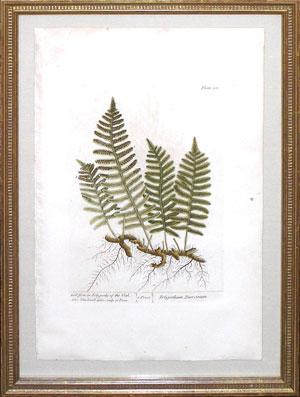 Botanical engraving from A Curious Herbal: Elizabeth Blackwell