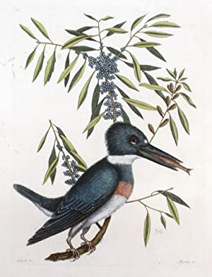 Plate 69 - The Kingfisher