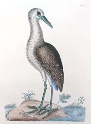 Plate 78 - The Brown Bittern