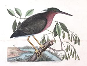 Plate 80 - The Small Bittern