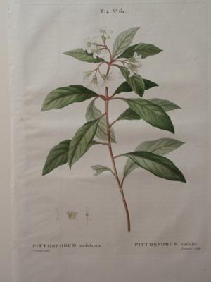 "T.4 No 62, ""Pittosporum Undulatum/Pittosporum Ondule"": Henri Louis Duhamel du ..."