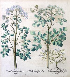 Thalictrum flore albo, Pl. 25: Basil Besler