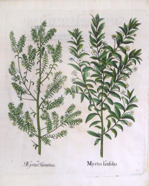 Myrtus latifoliis, Pl. 146: Basil Besler