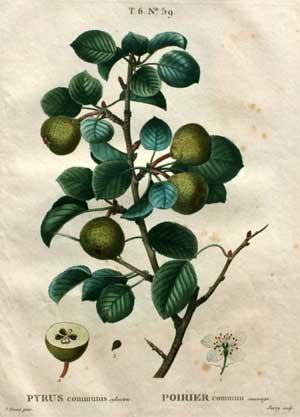 Pyrus communis: Pierre-Joesph Redouté (1759-1840) and Pancrace Bessa (1772-1835) after Henri Louis ...