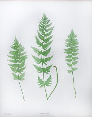 Lastrea cristata, Pl. XIX (The crested buckler fern): Thomas Moore