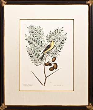 Plate 43 - The American Goldfinch
