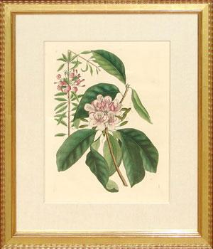 App. 17 - The Great Laurel: Mark Catesby (1683-1749)