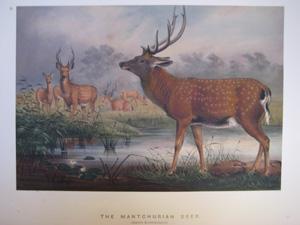 The Mantchurian Deer: Joseph Wolf