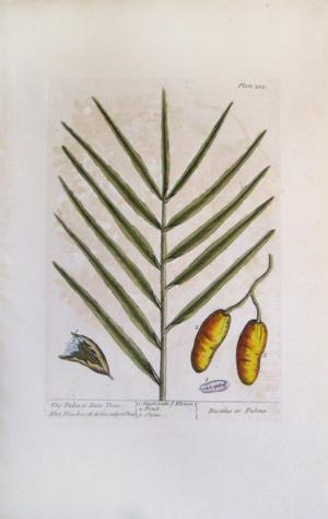 Plate 202, The Palm or Date Tree: Elizabeth Blackwell