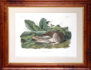 Plate 63 - Black-tailed Hare
