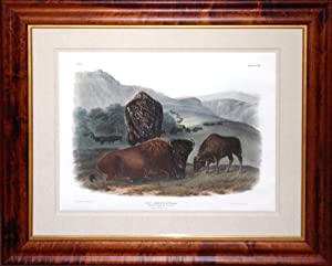 Plate 57 - American Bison or Buffalo (female)