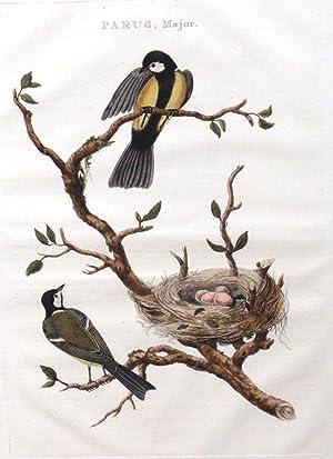 Parus, Major (sparrow): Cornelius Nozeman (1712-86)