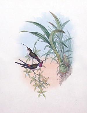 Rhodopis Vespera (Evening Hummingbird): John Gould (1804-1881)