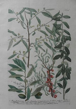 N.764 Olea Bohemia, Seu Ziziphus Carpadocia: Johann Wilhelm Weinmann