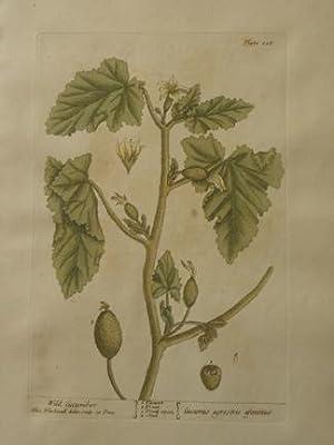 pl. 108 Wild Cucumber: Elizabeth Blackwell