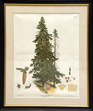 Tab X - The Spruce or Red Fir, with detailed studies of the cones, seeds and wood grain: unknown