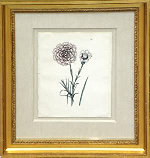 Plate 55 - Dry's Earl of Uxbridge (Carnation): Edwin Dalton Smith (1823-1846)