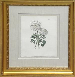 Plate 167 - Maculata Suprema Ranunculus: Edwin Dalton Smith (1823-1846)