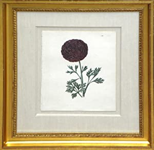 Plate 150 - Othello (Ranunculus): Edwin Dalton Smith (1823-1846)
